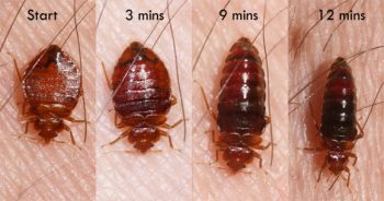 Human bed bugs change shape and color as they feed. (Photo by Whitney Cranshaw)