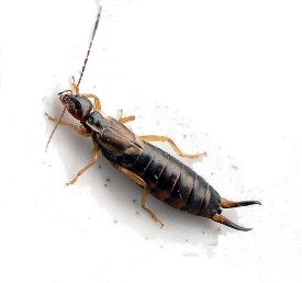 Earwigs Information Amp Eradication Hunters Services Inc