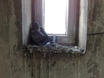 pigeon-in-attic