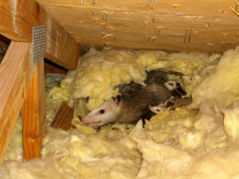 possum-in-attic