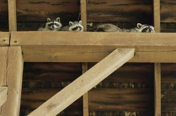 racoons-in-attic