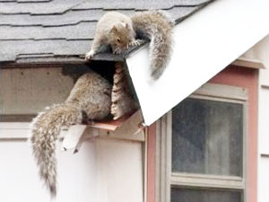 squirrels-in-attic